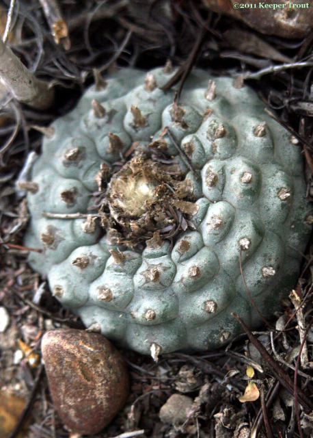 Lophophora williamsii in Jim Hogg County
