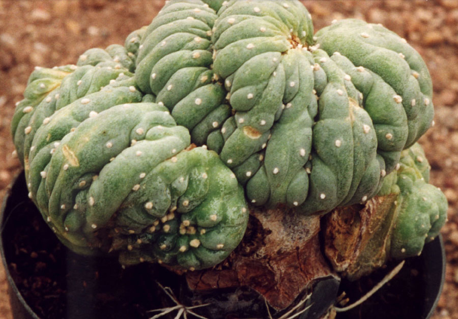 Lophophora williamsii crest Photo by Anonymous