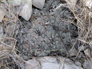 Lophophora-williamsii-echinata-Terrell-2790