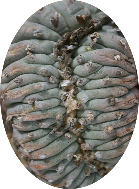 Lophophora-williamsii-echinata-TerrellCounty-crest-closer