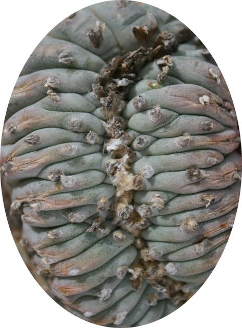Lophophora-williamsii-echinata-TerrellCounty-crest-closer