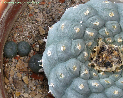 Lophophora-williamsii-echinata-boquillas-4041