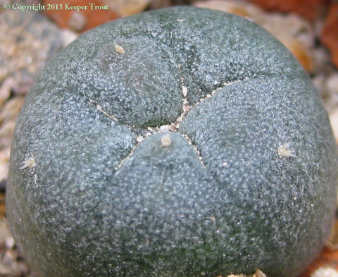 Lophophora-williamsii-echinata-boquillas-4046