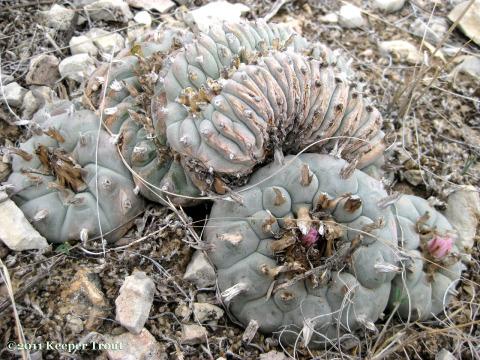 Lophophora-williamsii-echinata-crest-wild