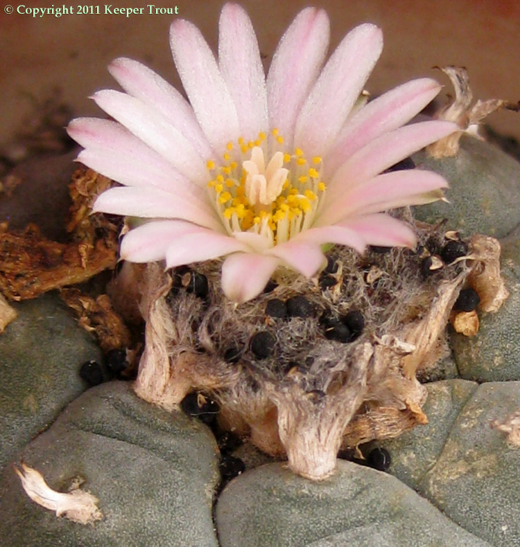 Lophophora-williamsii-echinata-loose-seeds-2531
