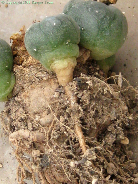 Lophophora-williamsii-pups-independent-roots