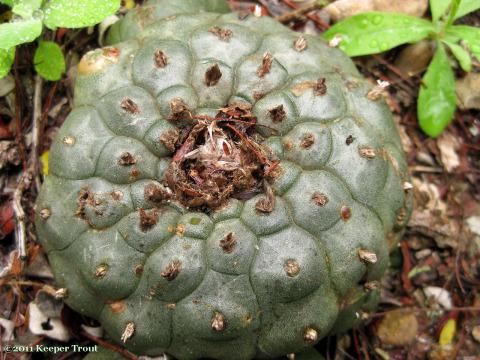 Lophophora-williamsii-ribbing-wet