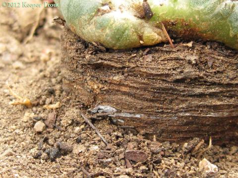 Lophophora-williamsii-rootbark