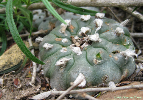 "A peyote bearing its ""crests' in Jim Hogg County"