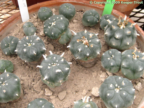 Lophophora williamsii  grown from Jim Hogg County seeds