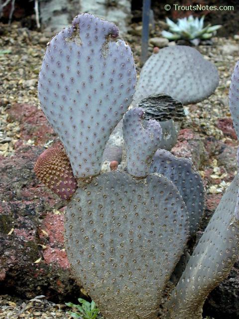 Opuntia-basilaris-HBG-plant