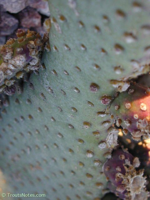 Opuntia-basiliaris-close