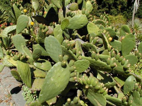 Opuntia-ficus-indica-1