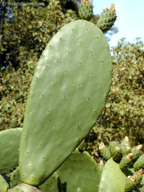 Opuntia-ficus-indica-pad