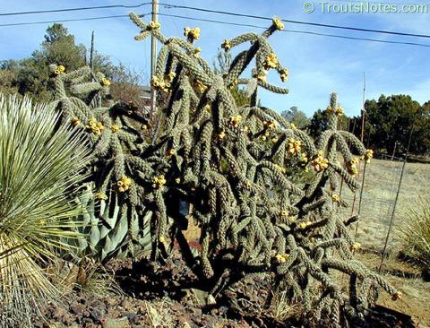 Opuntia-imbricata-SC-plant