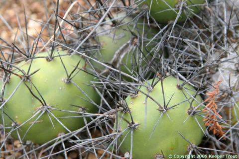 Opuntia-sp-Peru-57.0604-UC-2006-2118