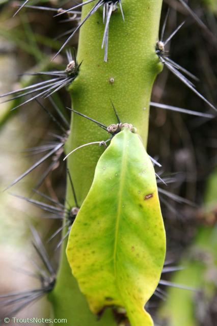 Pereskia-grandfolia-UC-2006-2071