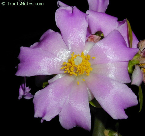 Pereskia-grandiflora-172
