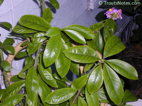 Pereskia-grandiflora-174