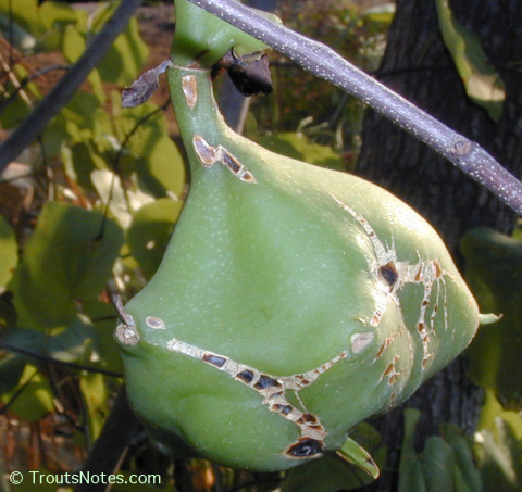 Pereskia-grandiflora-fruit