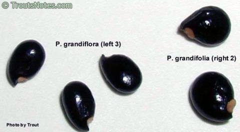 Pereskia-grandiflora-seeds