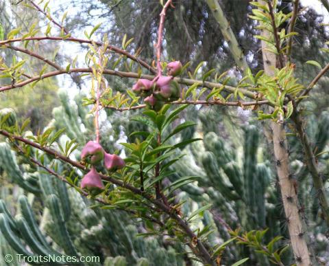 Pereskia-grandifolia-HBG-fruiting