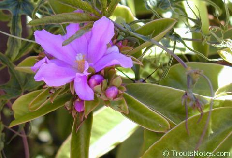 Pereskia-tampicana-flower