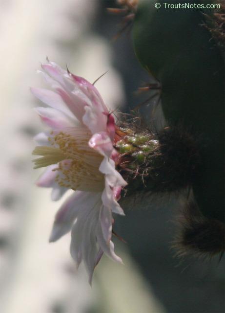 Polaskia-chende-flower