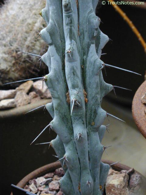 Stenocereus-beneckei-HBG-2006-P1010615