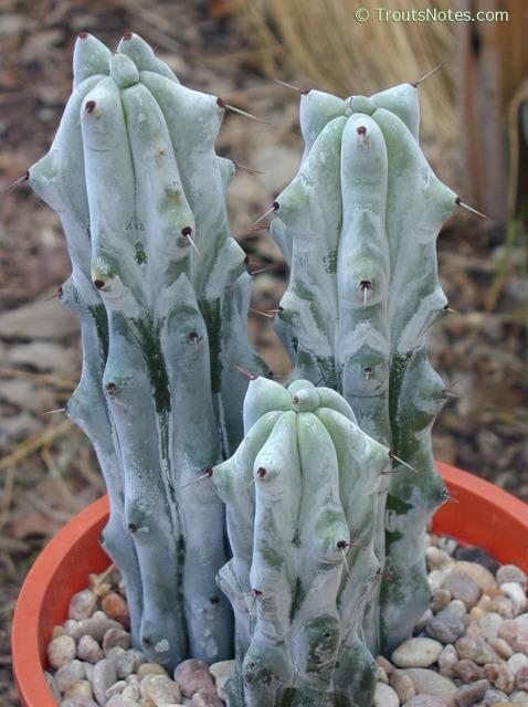 Stenocereus-beneckei-LD