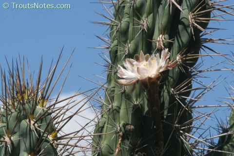 Stetsonia-coryne-flowering