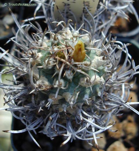 Turbinicarpus-flaviflorus-SS-01