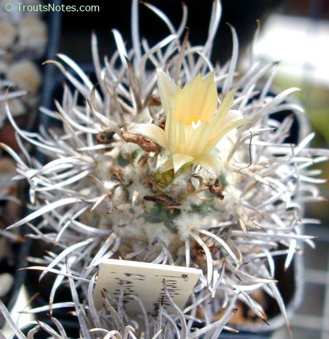 Turbinicarpus-flaviflorus-SS-02