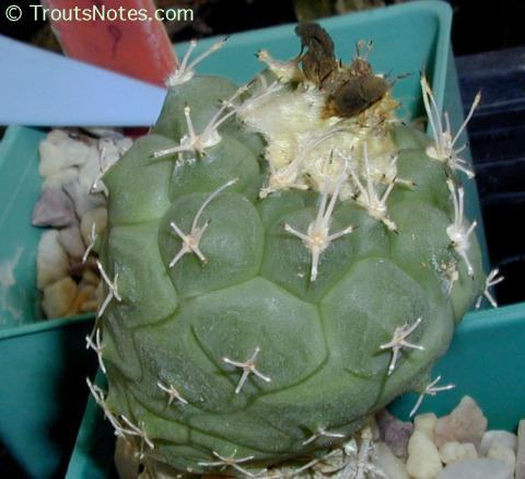 Turbinicarpus-lophophoroides-187TR