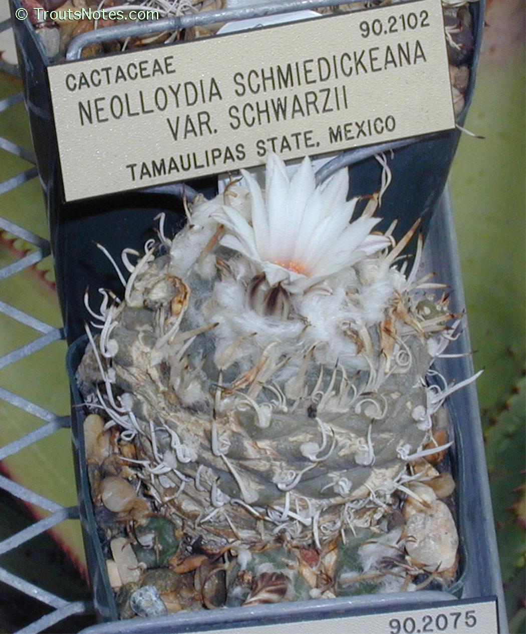Du ca 1,8-2 cm Turbinicarpus schwarzii Charco Blanco