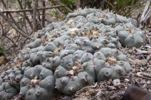 Lophophora williamsii mid-March 2016