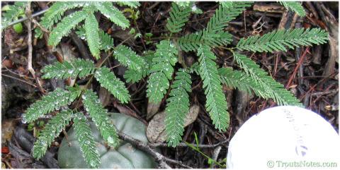 Acacia-berlandieri-JimHogg-2014-7649cropped