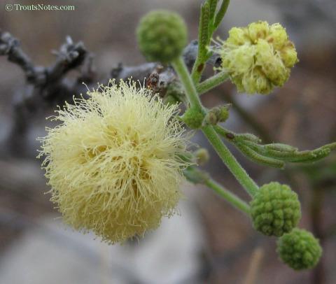 Acacia-berlandieri-Terrell-2011-2722