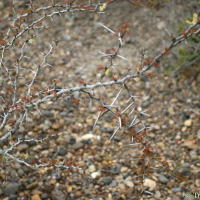 Acacia rigidula in Jim Hogg County