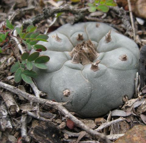 Acacia-rigidula-Lophophora_williamsii_RES_2010mar07_IMG_5590