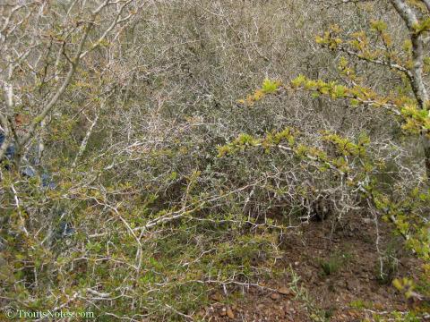 Acacia rigidula in Starr County