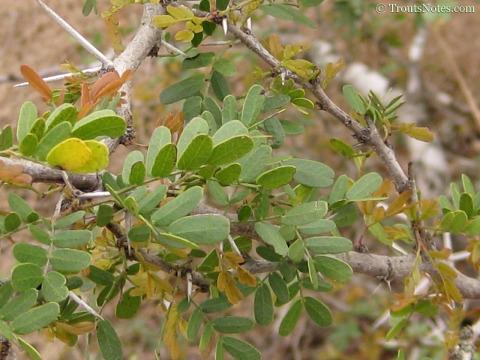 Acacia-rigidula-StarrCo-ESTR-2009-0482