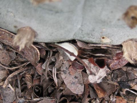 Acacia rigidula making soil in Val Verde County