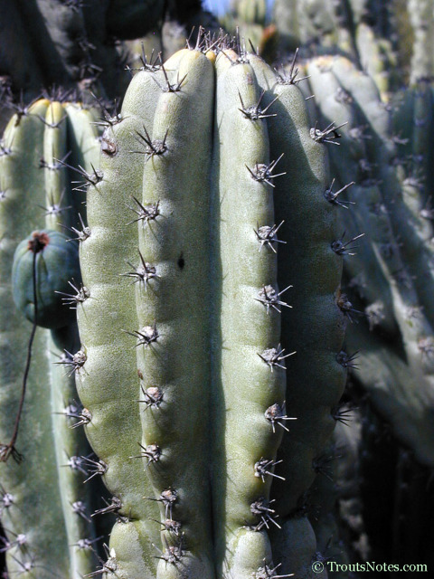Cereus peruvianus var. reclinatus