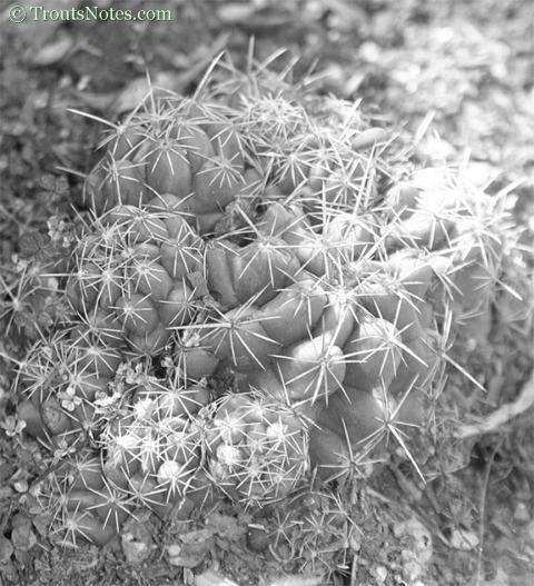 Coryphantha palmeri