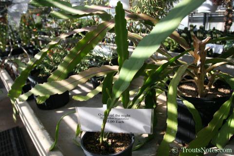 Epiphyllum oxypetallum