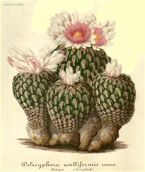 Lemaire 1858 L' Illustration horticole, vol. 5: t. 186.