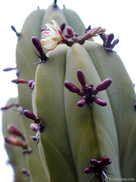 Myrtillocactus geometrizans