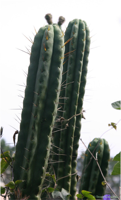 Trichocereus-sp-at-Juuls-2006