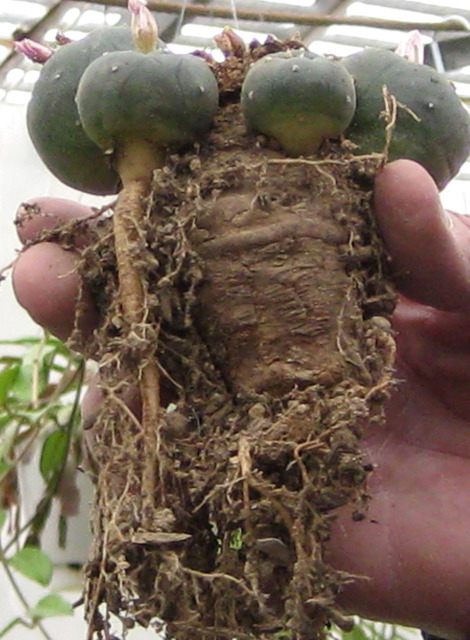 Lophophora-williamsii-deadcrown-pups-roots